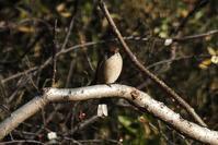 ■ 冬鳥 3種   18.1.15   (モズ、カシラダカ、シメ) - 舞岡公園の自然2