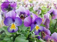 育種家ビオラ - さにべるスタッフblog     -Sunny Day's Garden-