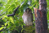 フクロウの雨宿り 2016年撮影 - 銀狐の鳥見