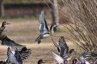 飛んで飛んでトモエガモ - 気ままな生き物撮り