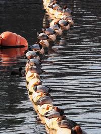 海上公園の水鳥たち - 柳に雪折れなし!Ⅱ
