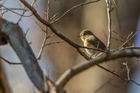 柿の実を食べにくる鳥たち - あだっちゃんの花鳥風月