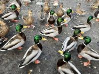 バードウオッチングで癒されるの巻 (George C. Reifel Migratory Bird Sanctuary ) - バンクーバー日々是々
