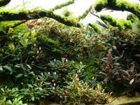 久しぶりにブセ水槽の写真を - 癒しのアクアライフ