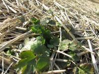 パクチー、ルッコラ冬の畑 - 南阿蘇 手づくり農園 菜の風