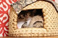 いつもよりキリッとしてる猫  - きょうだい猫と仲良し暮らし