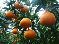 究極の柑橘「せとか」収穫は2月中旬より!収穫まで1ヶ月前の様子を現地取材(前編) - FLCパートナーズストア