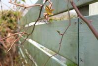 1月薔薇事情 - お庭のおと