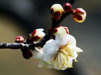 神代植物公園の白梅 (1月18日) - シニアデジカメギャラリー