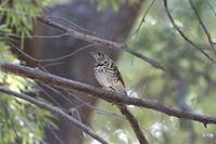 MFのトラツグミその2 - 私の鳥撮り散歩