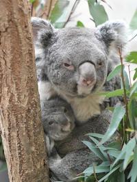お母さんに抱かれている小さなコアラ - bonsoir