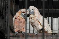 大宮公園小動物園の動物たち~鳴きまくりオオバタン - 続々・動物園ありマス。