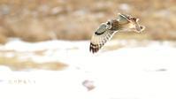 コミミズク - 北の野鳥たち