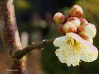 初咲き - Winter PHOTO