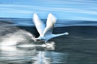 みちのく白鳥流し撮り4 - みちのくの大自然