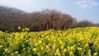 吾妻山公園 菜の花祭り - てんねん生活 ARAKOKI