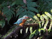 公園の池にいたカワセミ - コーヒー党の野鳥と自然 パート2