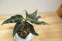 Aglaonema pictum 'A. しるば~らいん' - PlantsCade -2nd effort