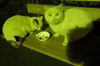 公園猫の白ちゃんず - もるとゆらじお