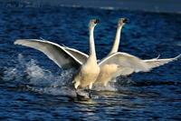 みちのく白鳥着水 - みちのくの大自然