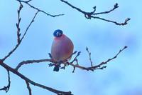 桜の蕾みにアカウソ アトリベニマシコ雄 - 鳥さんと遊ぼう