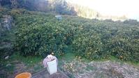 2018年、柑橘初め - 大三島のおはなし