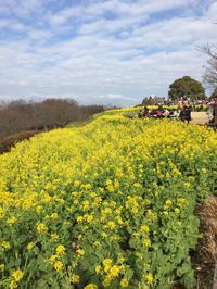 【おうちゴハン】菜の花畑からの菜の花パスタ - casa del sole