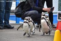 2017年12月志摩マリンランドその2ペンギンお散歩 - ハープの徒然草