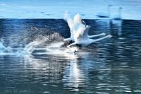 みちのく白鳥流し撮り5 - みちのくの大自然