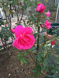 冬に元気な薔薇 - 春&ナナと庭の薔薇