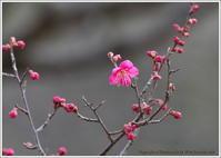 今年最初の梅の花 - 野鳥の素顔 <野鳥と日々の出来事>