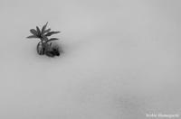 雪のしたから - 写真と私