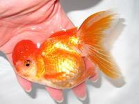 1月25日新着金魚のご紹介です。その5 - フルタニ金魚倶楽部blog