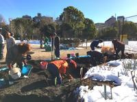 1月25日駒場野公園バラ花壇改修作業 - 駒場バラ会咲く咲く日誌