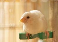 キャンディ(♂):粟穂用クリップの上で~ジュウシマツ - DOUBLE RAINBOW