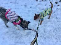 2ヶ月経過 - 琉球犬mix白トゥラーのピカ