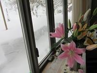 寒波の影響 - ユリ 百合 ゆり 魚沼農場の日々