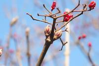■冬芽・葉痕 (3)18.1.26(ガマズミ、クサギ、ヌルデ) - 舞岡公園の自然2