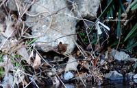 残雪にミソサザイ - azure 自然散策 ~自然・季節・野鳥~