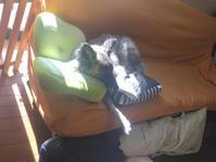 贅沢 - 琉球犬mix白トゥラーのピカ