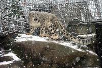 雪の中のユキヒョウたち(後編) - 動物園放浪記