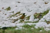 アカハラも雪の上 - 四季の予感