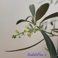 室内で咲くオリーブの花♪ - Bleu Belle Fleur☆ブルーベルフルール