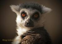 ワオキツネザル:Ring-tailed Lemur - 動物園の住人たち写真展