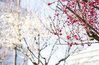 海上公園の梅開花! - 柳に雪折れなし!Ⅱ