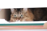 引き出し好きの猫 - きょうだい猫と仲良し暮らし