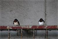 寒い中越冬燕 - 気ままにデジカメ散歩