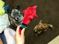 鬼のアレ - 琉球犬mix白トゥラーのピカ