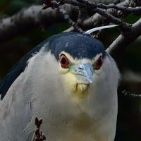 """ゴイサギ(五位鷺)/Black-crowned night heron - 「生き物たちに乾杯」 第3巻 """"A Toast to Wildlife!"""" vol. 3"""