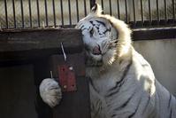 2018.1.6 宇都宮動物園☆ホワイトタイガーのアース王子<後編>【White tiger】 - 青空に浮かぶ月を眺めながら